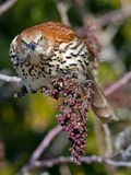Brown Thrasher. Starring at camera Stock Image