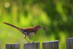 Brown Thrasher sur un courrier de barri?re avec un insecte dans son bec images stock