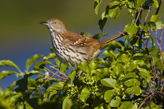 Brown Thrasher (toxostoma refum) Royalty Free Stock Photos