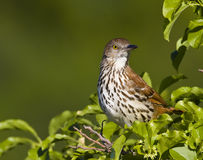 Brown Thrasher (toxostoma refum) Stock Photo