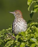 Brown Thrasher (toxostoma refum) Stock Photos
