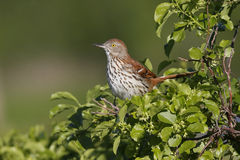 Brown Thrasher (toxostoma refum) Royalty Free Stock Images