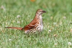 Brown Thrasher (Toxostoma rufum) Stock Images