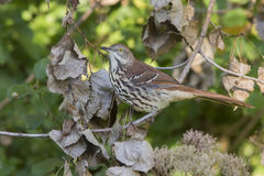 Brown Thrasher Royalty Free Stock Photography