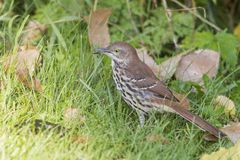 Brown Thrasher Stock Image