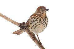 Brown Thrasher (Toxostoma rufum) Royalty Free Stock Image