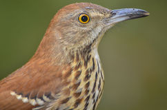 Brown Thrasher(Toxostoma rufum) Royalty Free Stock Images