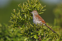 Brown Thrasher (Toxostoma rufum rufum) Royalty Free Stock Image
