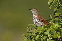 Brown Thrasher (Toxostoma rufum rufum) Royalty Free Stock Photos