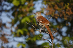 Brown Thrasher (Toxostoma rufum rufum). Sitting in tree near nest Stock Photo