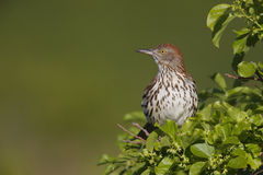 Brown Thrasher (Toxostoma rufum rufum). Sitting in tree near nest Royalty Free Stock Images