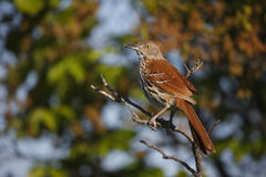 Brown Thrasher (Toxostoma rufum rufum) Royalty Free Stock Photography