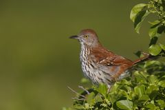 Brown Thrasher (Toxostoma rufum rufum) Stock Photography