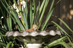 Brown Thrasher bird splashing in bird bath, Athens, GA USA. Brown Thrasher, Toxostoma rufum, splash water in a bird bath on a hot Georgia afternoon in May. Yucca Royalty Free Stock Photo