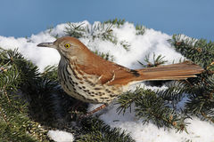 Brown Thrasher In Winter Stock Images