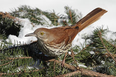 Brown Thrasher In Winter. Brown Thrasher (Toxostoma rufum) in winter on a spruce branch covered with snow Royalty Free Stock Photography