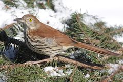Brown Thrasher In Winter Royalty Free Stock Photo