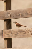 Brown thrasher on a wooden fence Royalty Free Stock Photos