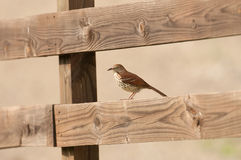 Brown thrasher on a wooden fence Royalty Free Stock Images
