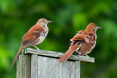 Brown Thrashers Stock Image