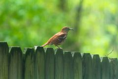 A brown threasher is perched on a wooden fence royalty free stock photography