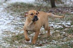 Ca de Bou Mallorquin Mastiff puppy dog stock photos