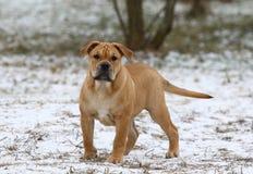 Ca de Bou Mallorquin Mastiff puppy dog royalty free stock photo