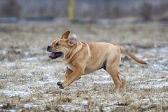 Ca de Bou Mallorquin Mastiff puppy dog stock image