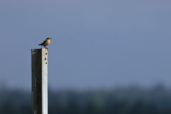 Brown-throated endangered songbird in Germany. A Brown-throated endangered songbird in Germany Royalty Free Stock Photo