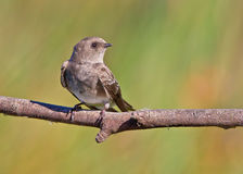 Brown-throated Martin Royalty Free Stock Image