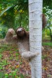 Brown-throated sloth climbing on a tree Panama Royalty Free Stock Photo