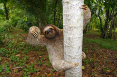 Brown-throated sloth climbs on a tree Stock Images