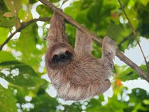 Brown throated sloth in the jungle. Young brown throated sloth hanging from a branch in the jungle, Bocas del Toro, Panama, Central America Royalty Free Stock Photography