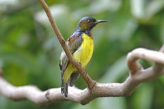 Brown-throated Sunbird Anthreptes malacensis Male Beautiful Birds of Thailand Royalty Free Stock Photos