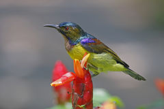 Brown-throated Sunbird Anthreptes malacensis Male Birds of Thailand Stock Photos