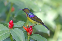 Brown-throated Sunbird Anthreptes malacensis Male Birds of Thailand Stock Photography