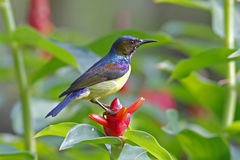 Brown-throated Sunbird Anthreptes malacensis Male Birds of Thailand Royalty Free Stock Photography