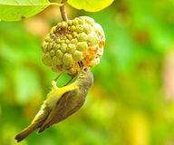 Brown-throated Sunbird Royalty Free Stock Images