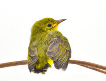 Brown-throated sunbird Royalty Free Stock Image
