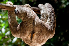 Brown-throated three-toed sloth Stock Photo