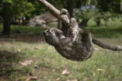 Brown-throated three-toed sloth, Bradypus variegatus. Youngster, Brazil Stock Photo