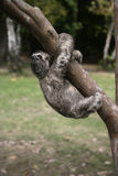 Brown-throated three-toed sloth, Bradypus variegatus. Youngster, Brazil Stock Image