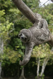 Brown-throated three-toed sloth, Bradypus variegatus. Youngster, Brazil Stock Photography