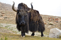Brown tibetan yak Royalty Free Stock Images
