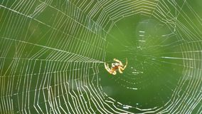 Brown tiger-colored crusader spider weaves a web with its paws on a tree in the summer against a background of green. A brown tiger-colored crusader spider stock footage