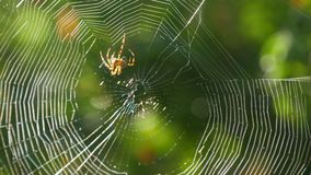 Brown tiger-colored crusader spider weaves a web with its paws on a tree in the summer against a background of green. A brown tiger-colored crusader spider stock video