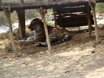 Brown tiger laying under ground. White tiger sleeping at ground at park. Very perfect close view of tiger Stock Images
