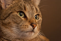 Brown Tiger Portrait. Close-up portrait of a shorthaired brown tabby cat - slight sepia tone royalty free stock images