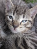 Tiger stripped kitten. Brown tiger striped kitten cat with blue eyes royalty free stock image