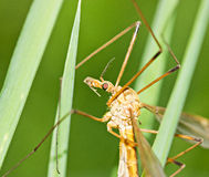 Brown tipula on grass Royalty Free Stock Photos